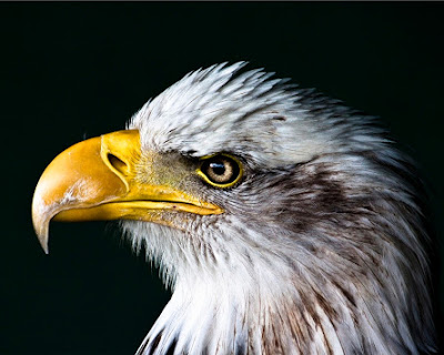 Bird Animal United States Of America Bald Eagle