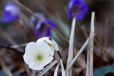 White Hepatica nobilis.