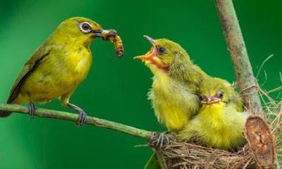 Harga Jual/Beli Burung Pleci Nganjuk