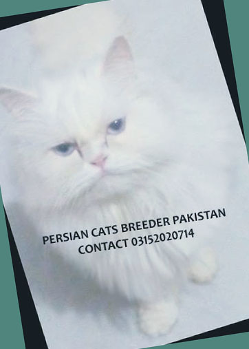 Persian Cats Breeder: Click Here For New Adds