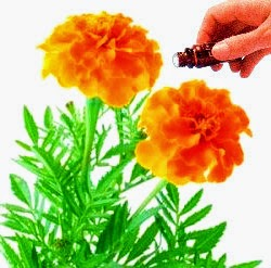 Aceite Tagetes