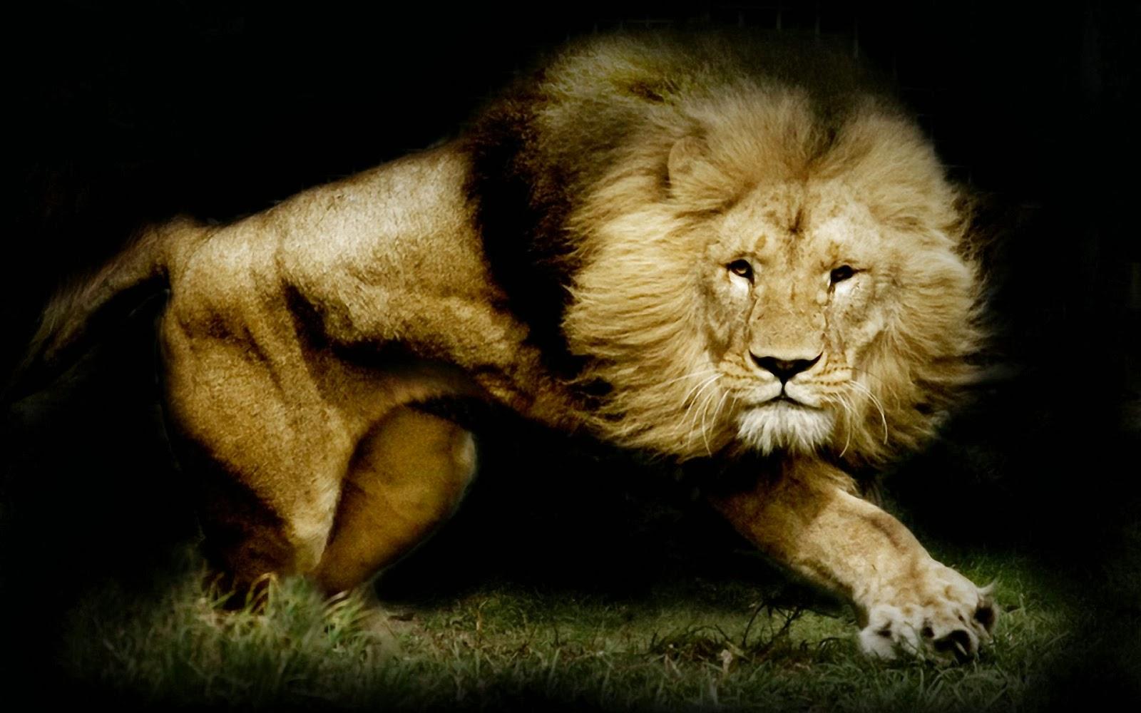 imagenes hilandy fondo de pantalla animales leon