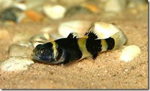 Cách nuôi cá bống mắt tre