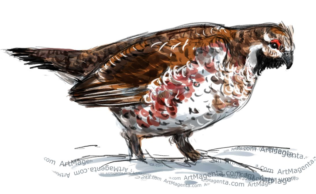 Hazel Grouse sketch painting. Bird art drawing by illustrator Artmagenta