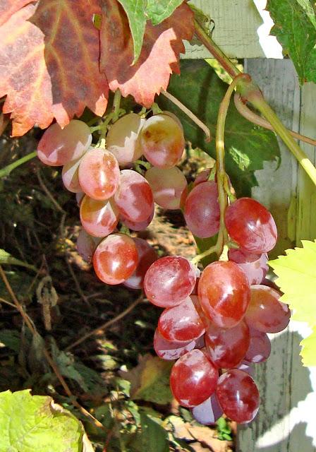 Виноград в Самаре