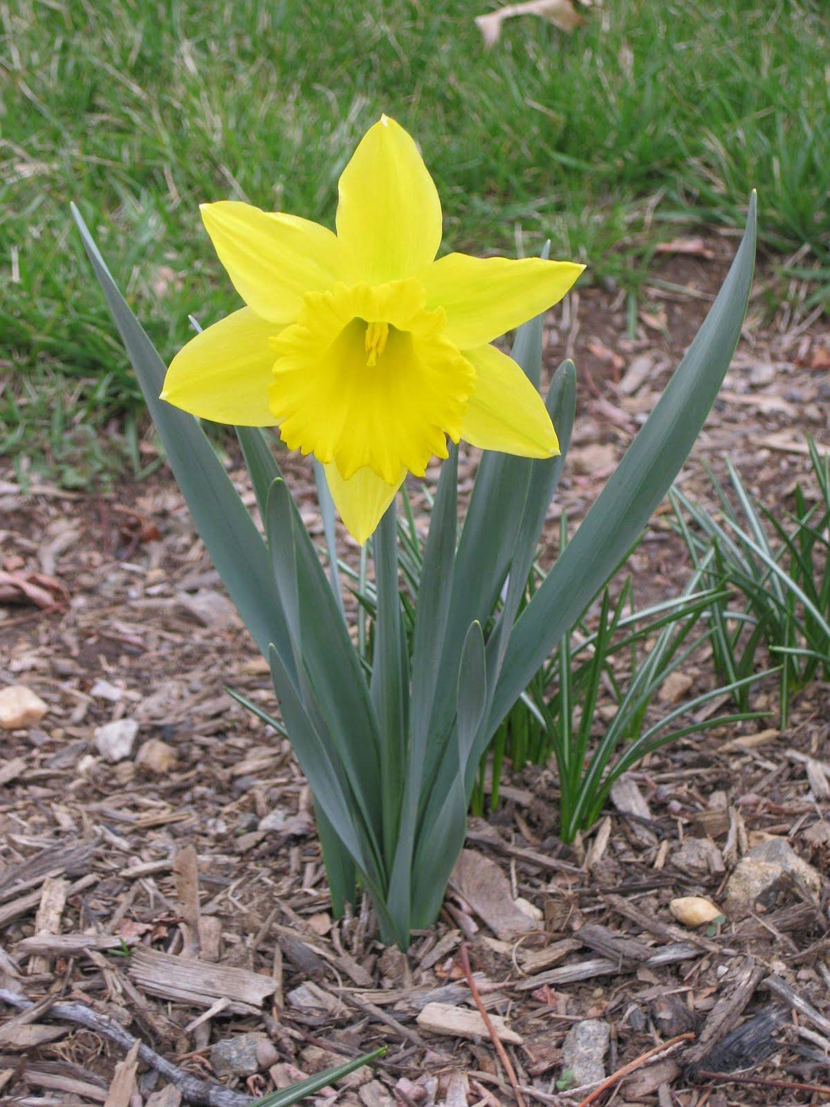 Have Ewe Any Wool Spring Daffodils