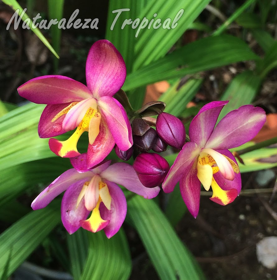 Flores púrpuras con labelo amarillo de un híbrido del género Spathoglottis