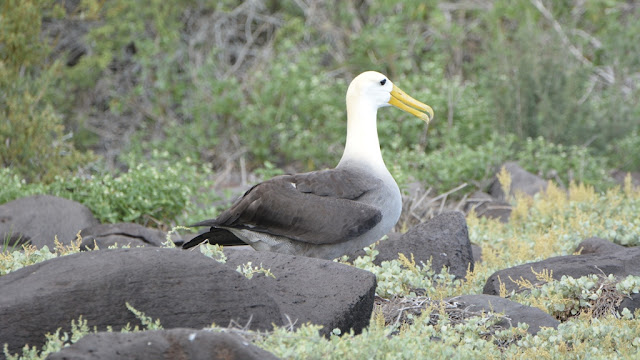 Punta Suarez on Espanola Island female albatross waiting