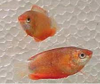 Gurami Thicklip, Ikan Hias Air Tawar Terindah dan ikan aquarium cantik