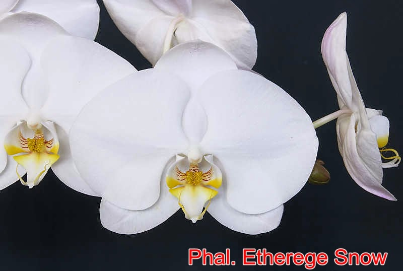 Phal. Etherege Snow