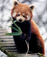 A red panda chewing a leaf