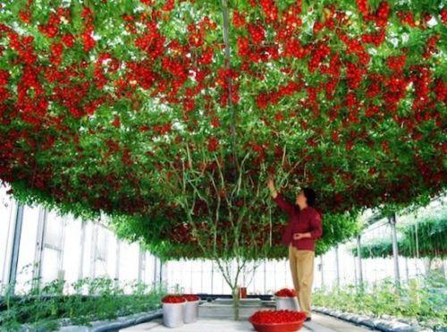Ιταλική ντοματιά: Ένα μόνο φυτό γίνεται ολόκληρο δέντρο