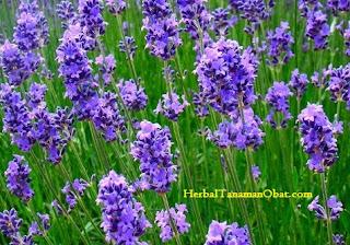 bunga lavender, lavender lotion, lavender flower, lavender roses, tanaman anti nyamuk ampuh, tanaman pengusir nyamuk, tanaman hias pengusir nyamuk