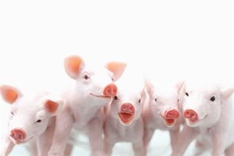 Científicos logran modificar el código genético de los cerdos
