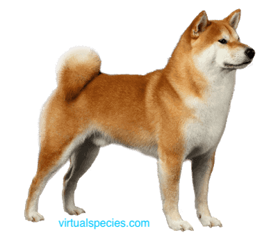 Akita on virtualspecies.com