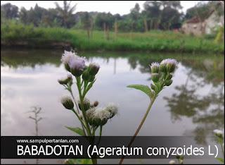 Mengenal gulma Babadotan (Ageratum conyzoides L.)
