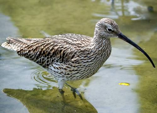 Eurasian bird - Numenius arquata