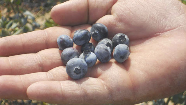 blueberries in Guatemala arándanos