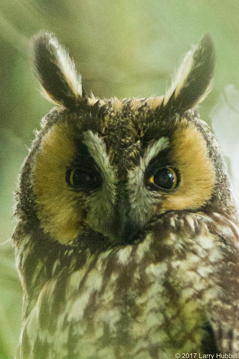 owl information