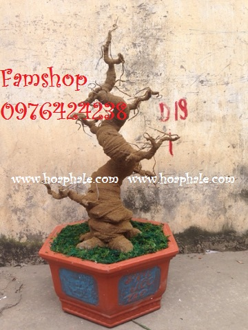 Goc bonsai mai dao tai Hoang Mai