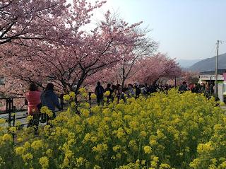Kawazu-zakura