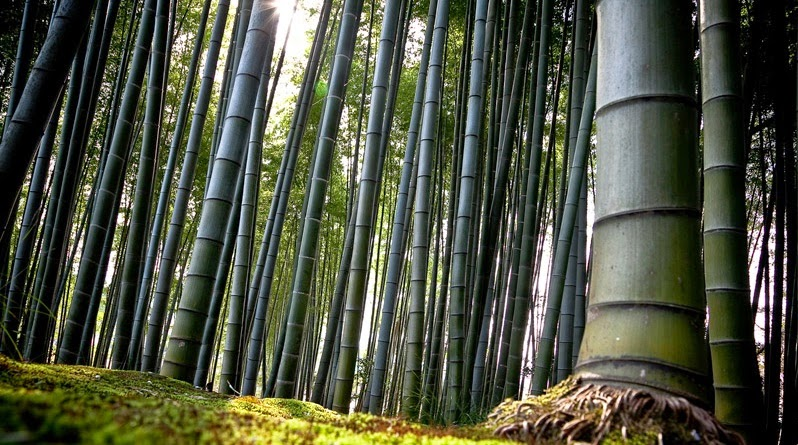 Black bamboo forest