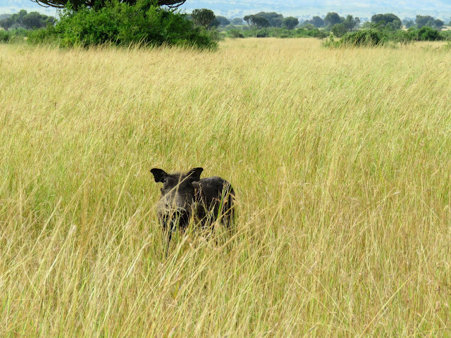 Warthog in Queen Elizabeth National Park in Uganda