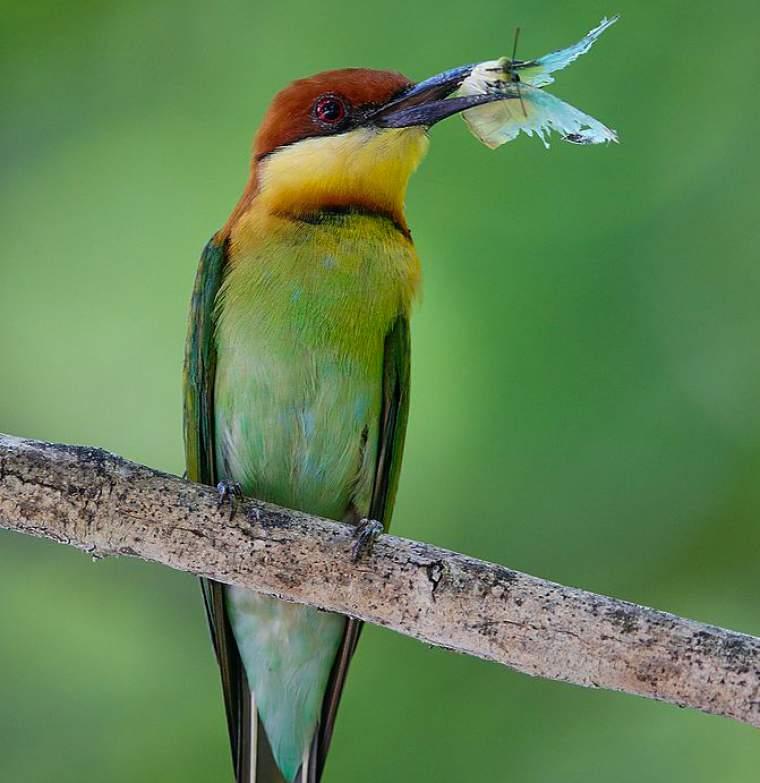 Chestnut-headed bee-eater photos | Birds of India | Bird World - photo#6