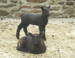 BFL ewe lamb posing with friend