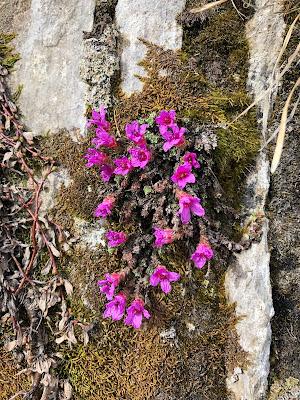 [Saxifragaceae] Saxifraga oppositifolia – Purple Mountain Saxifrage (Sassifraga a foglie opposte).