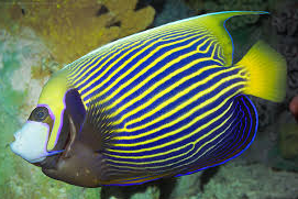 Ikan Hias Air Laut Angelfish (large)