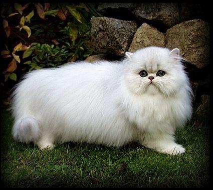 Ciri Ciri Kucing Persia - Blog Anco
