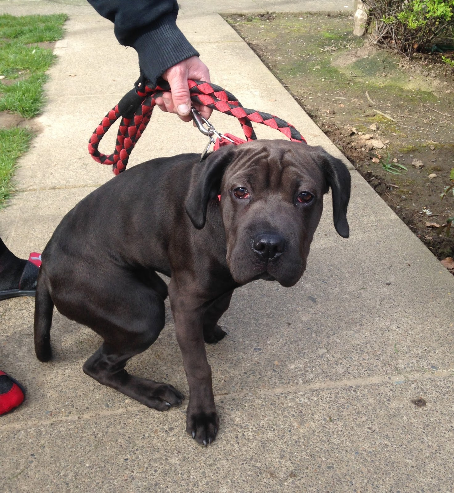 Shelter Dogs Of Portland Doogie Supercute 3 Mth Cane Corso Mix Puppy