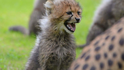 wallpapers angry-cheetah-cub-hd
