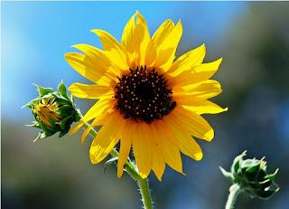 Gambar Bunga Matahari Paling Indah 200013_Sunflower