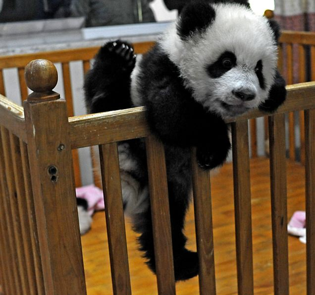 Funny image: Cute Baby Panda Pictures - photo#12