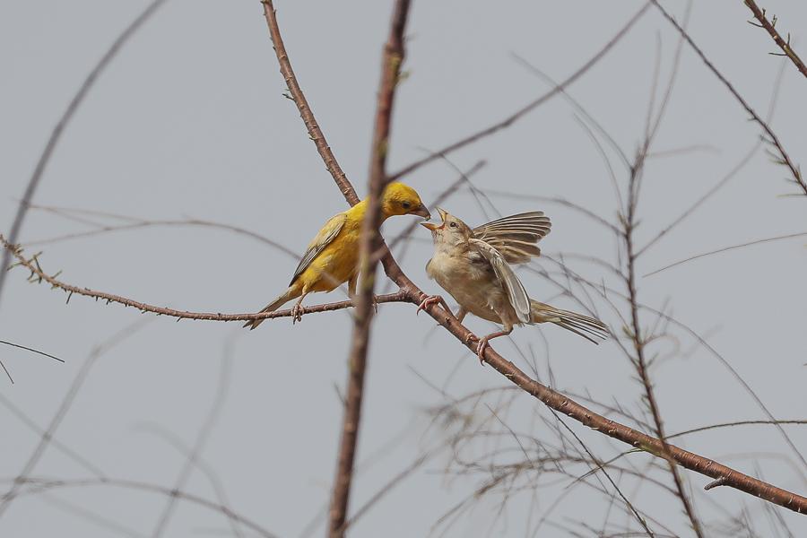 Arabian Golden Sparrow