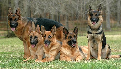 Image result for pictures of german shepherds