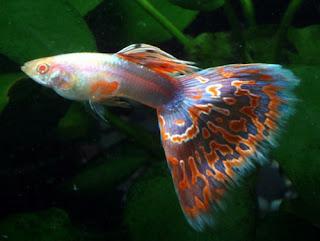 أسماك الطاووس الصينية الرائعة الجمال سبحــــــان الله image01413-737725.jp