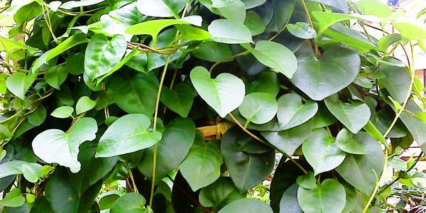 daun binahong