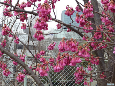靭公園寒緋桜