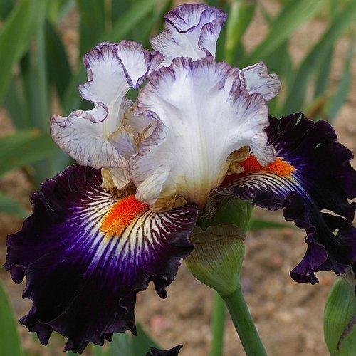 Iris 'Terre à Silex'