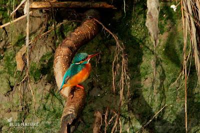 Martín pescador común - Common kingfisher - Alcedo atthis Plumaje y coloración del pico de hembra adulta. La mandíbula inferior presenta un color naranja extendido ausente en los machos.