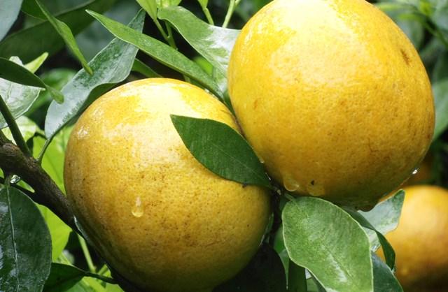 jeruk gerga poruk unggulan bengkulu