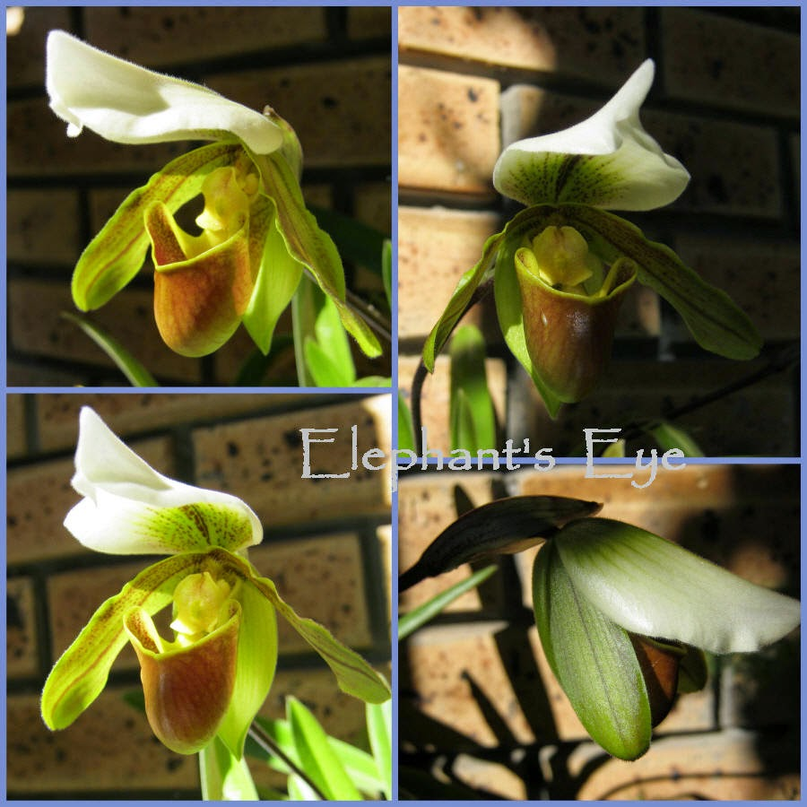 Slipper orchid King Arthur in August 2011