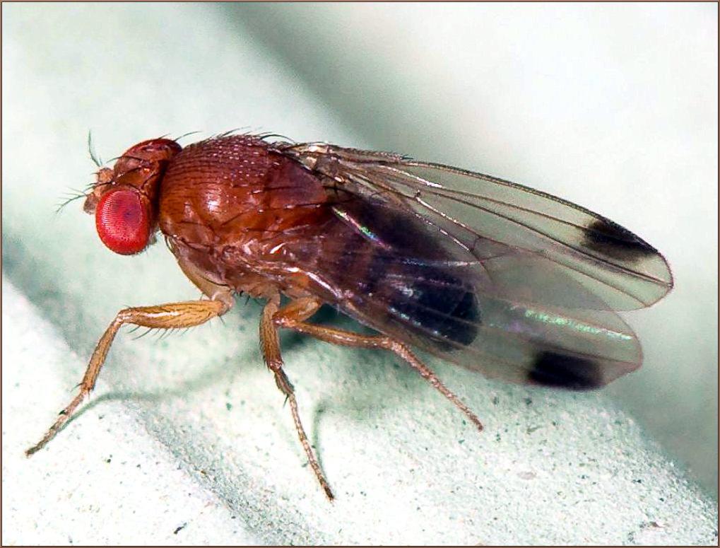 Das Kirschessigfliegen-Männchen.