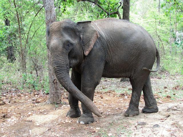 elephant chained tree yok don vietnam