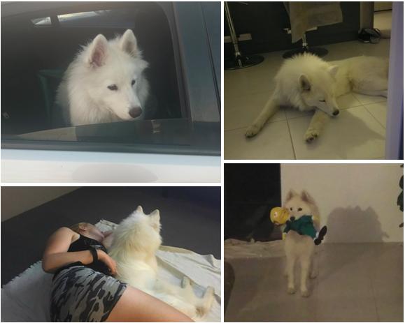 I got a new Samoyed puppy