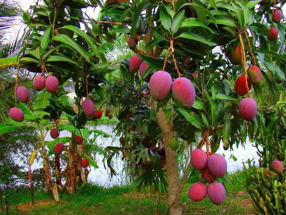 Resultado de imagem para mangueira planta