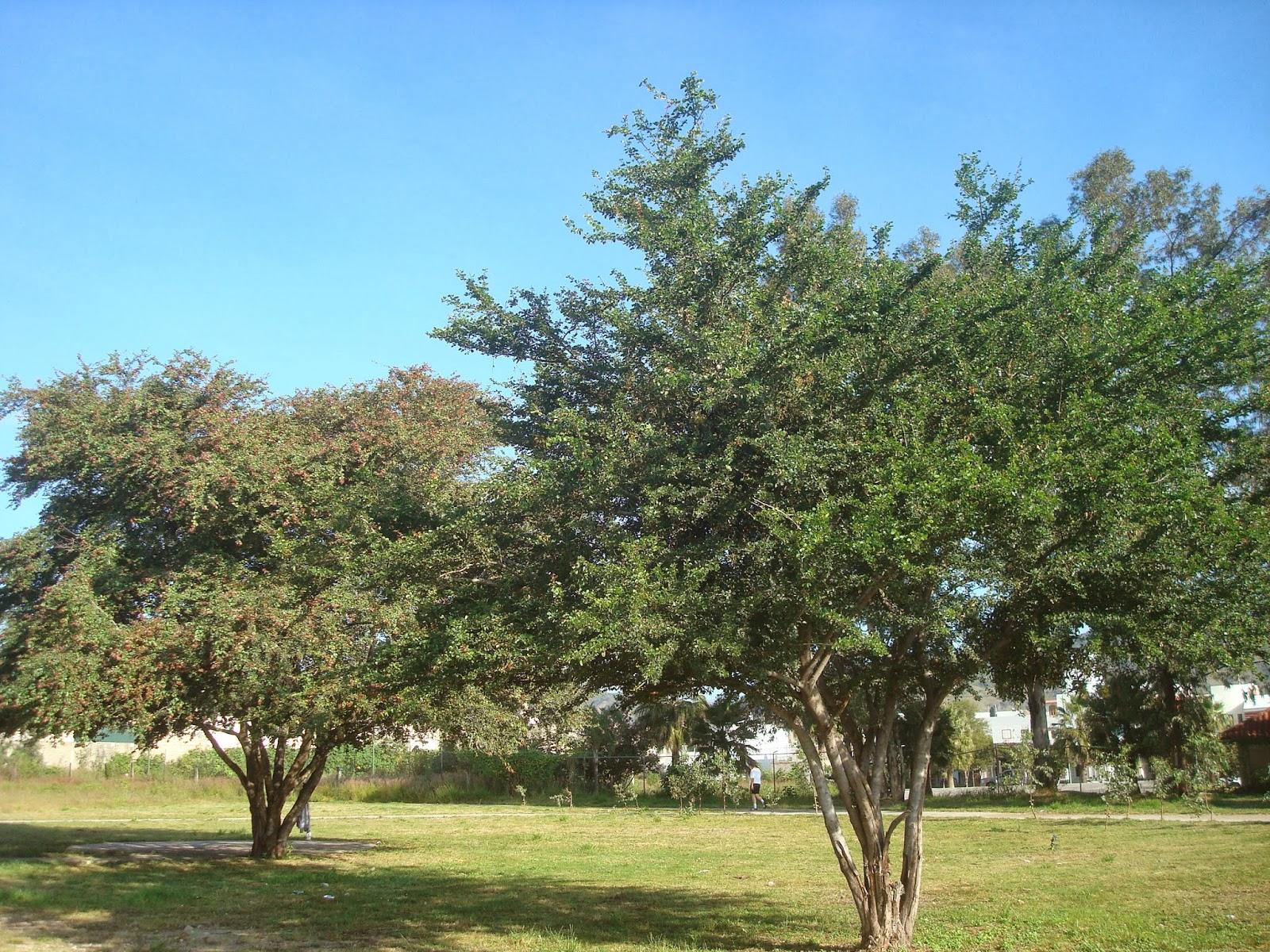 sancarlosfortin: parque los guamuchiles en el fortin  Guamuchiles
